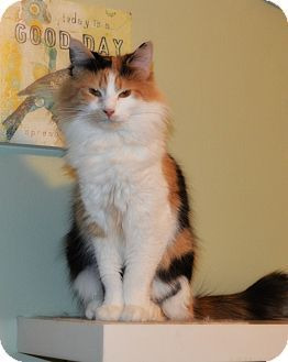 Addison, IL - Maine Coon. Meet Betsy, a cat for adoption. http://www.adoptapet.com/pet/12452917-addison-illinois-cat
