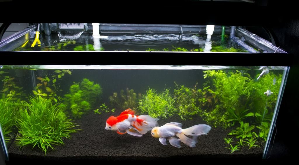 Hra S 40 Breeder Planted Goldfish Tank Page 2 The Forum
