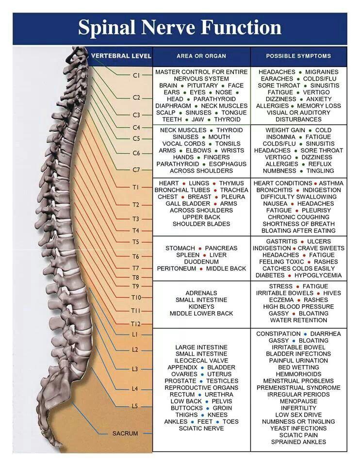 Spinal Nerve Function | #fUTureOT | Pinterest