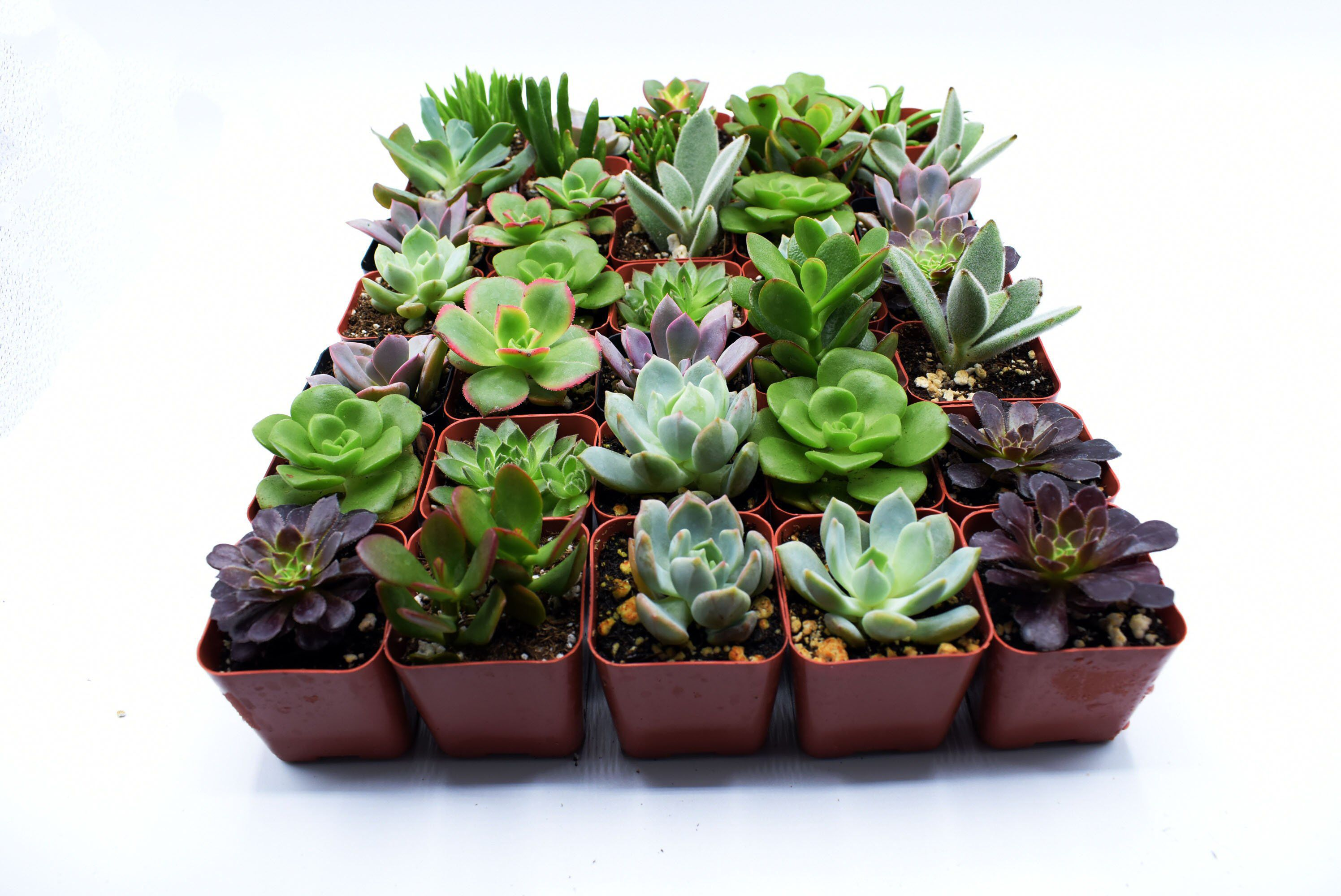 """36 Assorted 2"""" Pot Succulents wedding favors"""