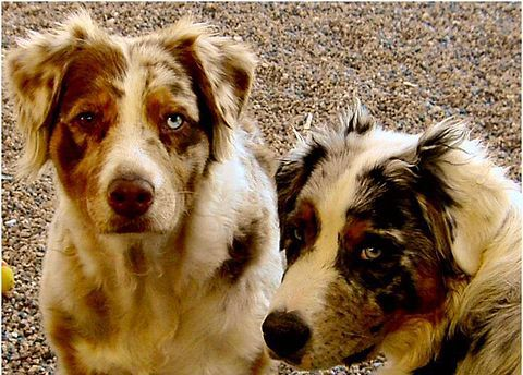 Australian Shepherds Red Merle With Copper Points And One Brown Eye And One Blue Eye Blue M Australian Shepherd Australian Shepherd Blue Merle Best Pet Dogs