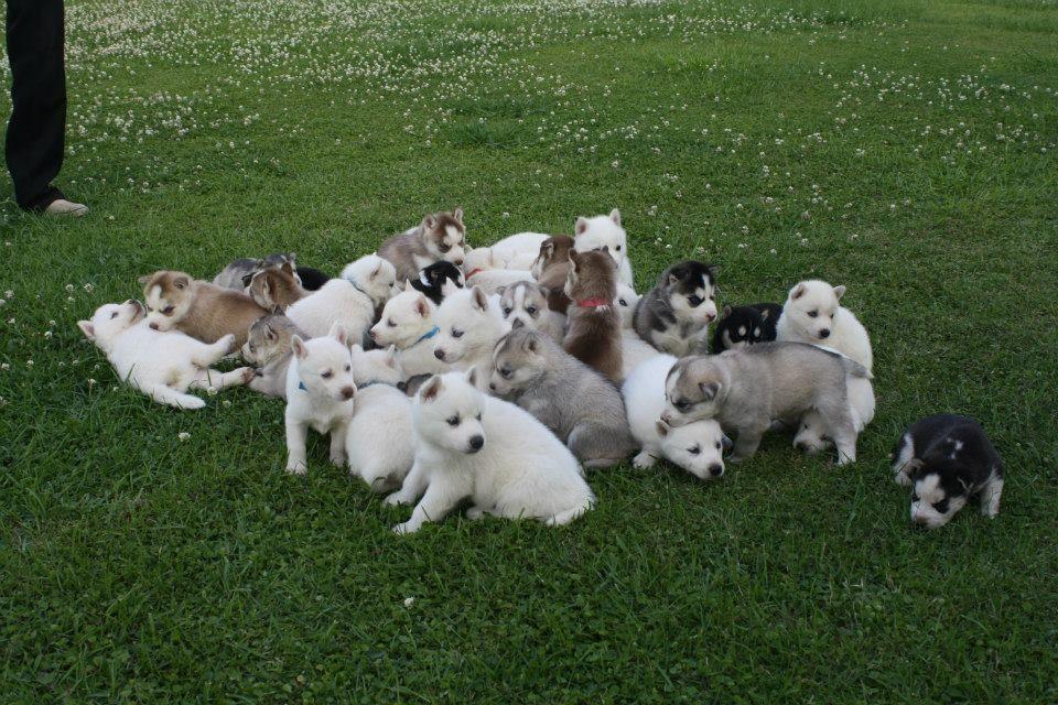 Siberian Husky Puppies K Kennels Louisiana Siberian Husky