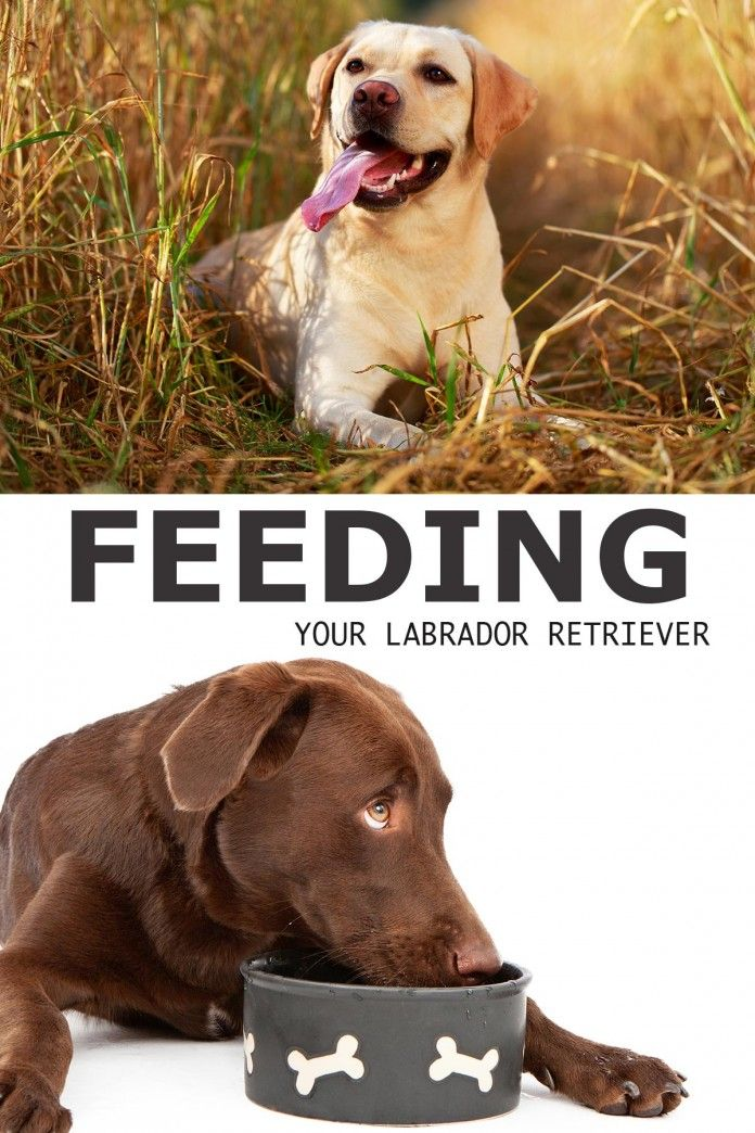 Labrador Food And How To Feed a Labrador A Complete