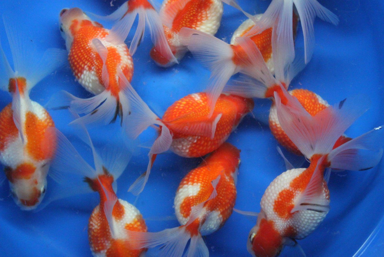 Live Crown Pearlscale Goldfish Md For Fish Tank Koi Pond Or Aquarium Ebay Goldfish Koi Fish Pond Fish Ponds