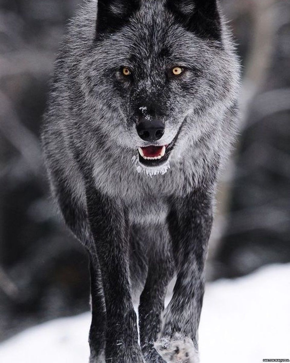 Пин от пользователя Grimm на доске волки | wolves | Волчак ...