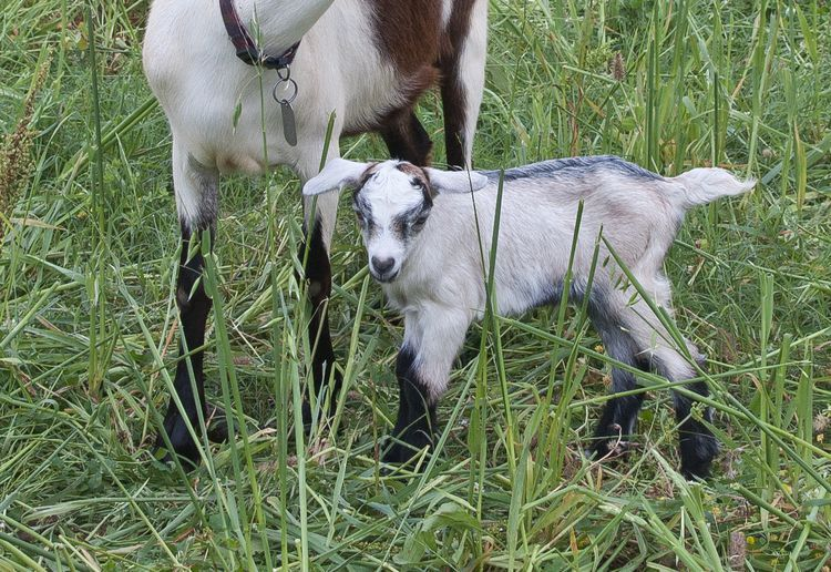 How to Raise and Care for Baby Goats Baby goats, Goats