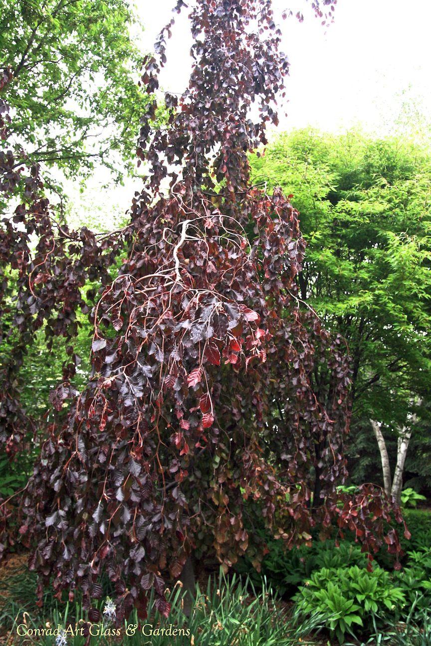 Fagus sylvatica 'Purple Fountains' | Trees | Pinterest ...