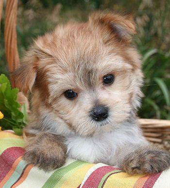 Maltipoo for sale at Mystic Creek Puppies Elegant