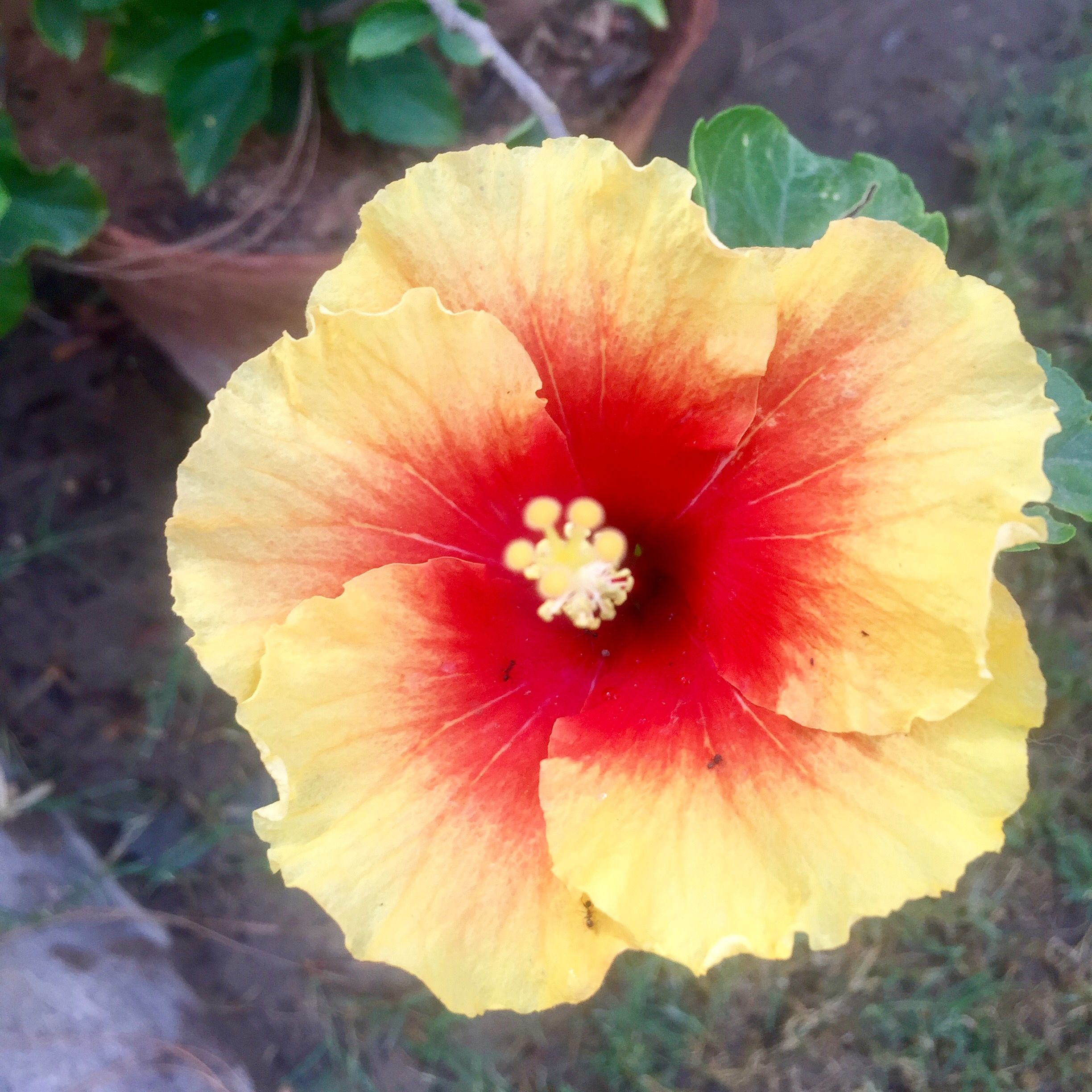 Some trivia you can live without knowing but here goes hibiscus some trivia you can live without knowing but here goes hibiscus is the izmirmasajfo