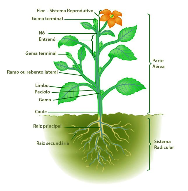 Anatomia Vegetal - PLANTAR PORTUGAL | Biologia - Botânica ou Vegetal ...