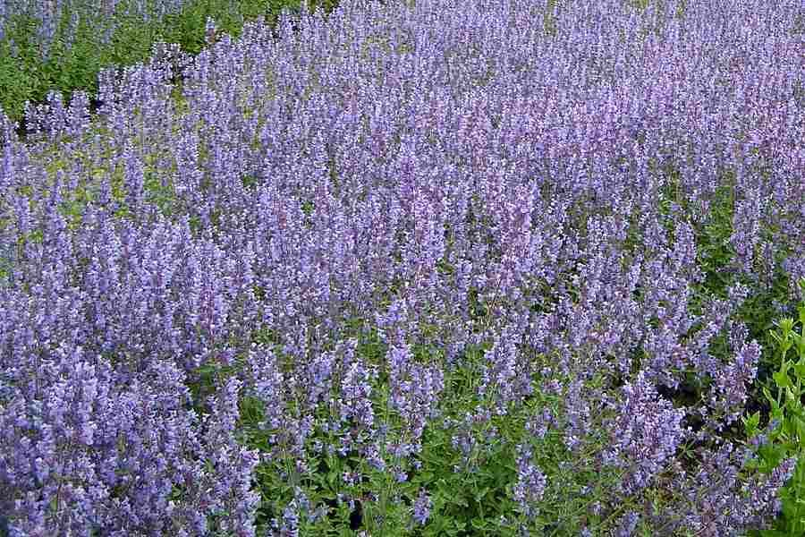 Walkers Low Nepeta The Farm WB Richardson Growers