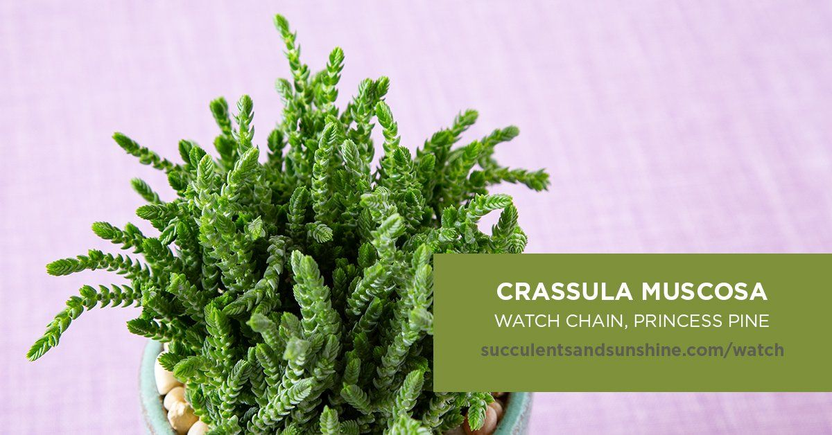 This Succulent S Leaves Are Compacted Around The Stem Types Of