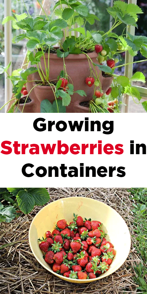 Growing Strawberries In Containers Dream Garden Growing Strawberries In Containers Strawberries In Containers Container Gardening Vegetables