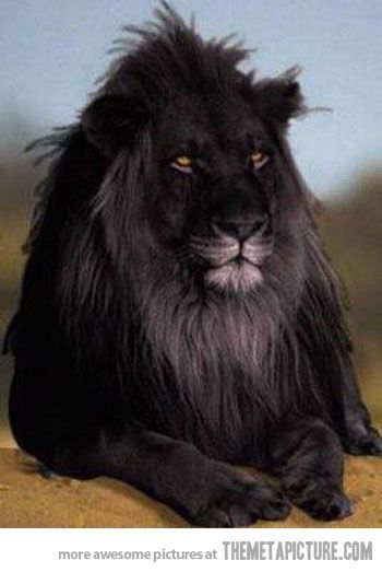 a black lion....wow...