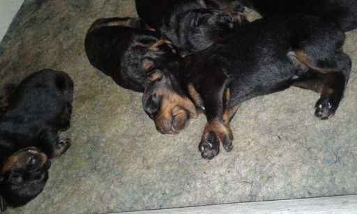 Rottweiler Puppy For Sale In Greenwood Sc Adn 36474 On