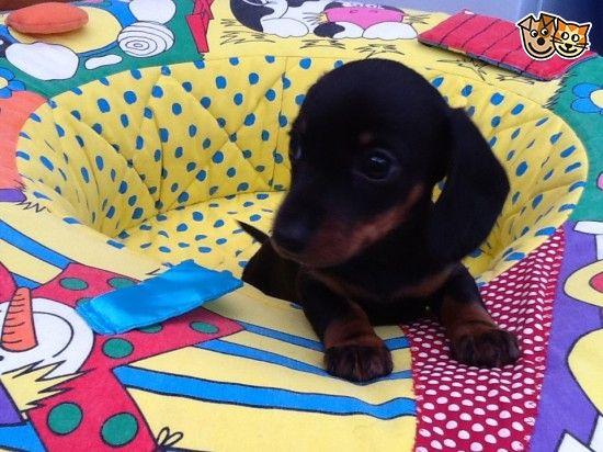 Miniature Dachshund Puppies Dachshund Puppies Baby Dachshund