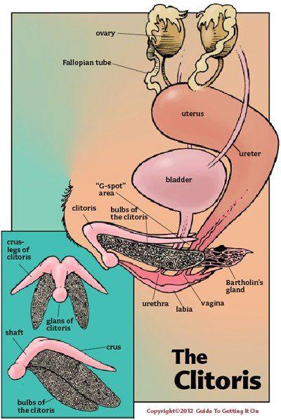 The Clitoris Looks Like A Small Penis For More Info Check Www Mytinysecrets Com