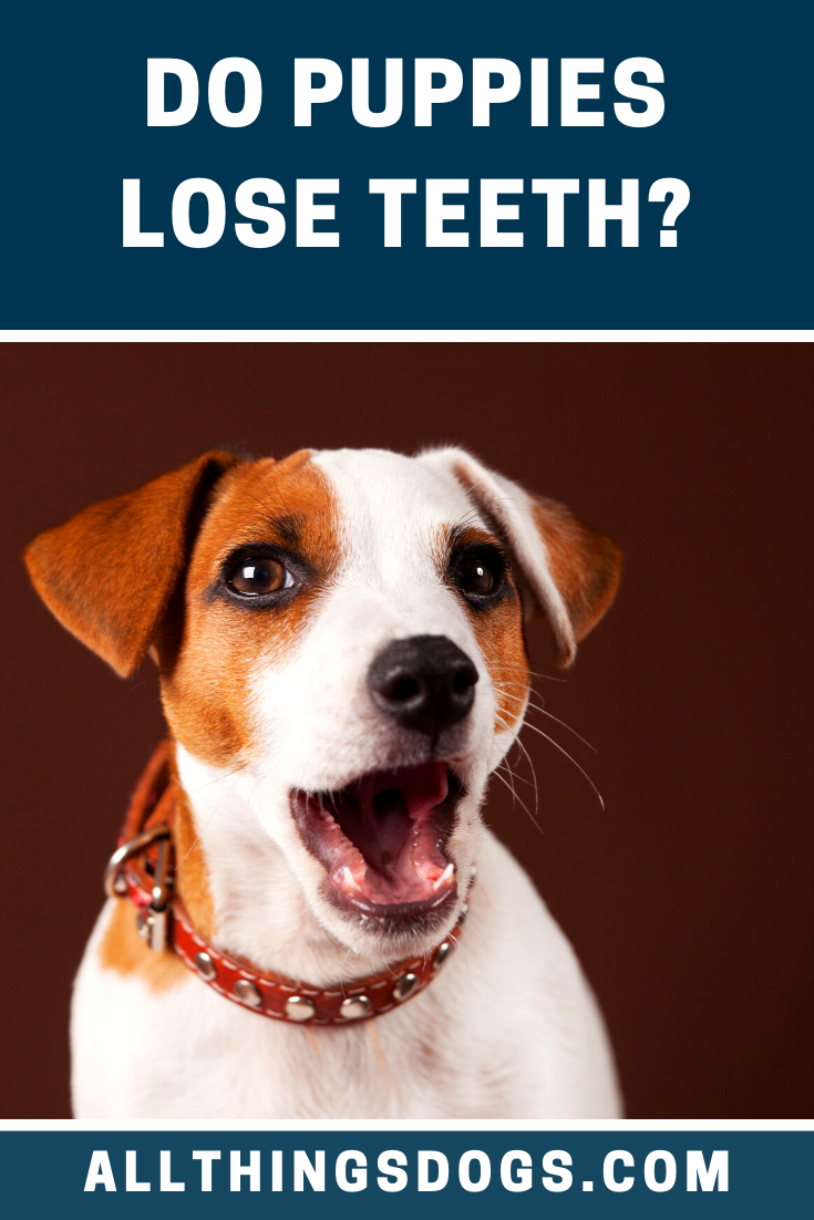 Inspecting A Puppy S Teeth From A Young Age Will Help To Build A Bond Whilst Getting Them Used To Being Groomed But Do Puppies L In 2020 Dog Dental Puppies Lost Tooth