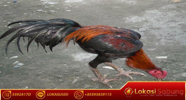 8800 Koleksi Gambar Hewan Peliharaan Ayam Terbaik