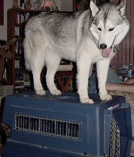Crate Training your Husky. ARA Canine Rescue inc. A