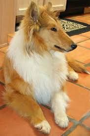 Image Result For Baby Collies Collie Pup Corgi