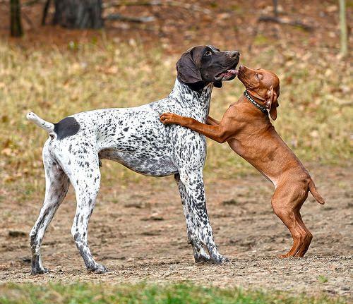 Vizsla puppy love   Lu...