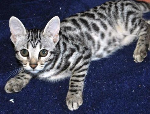 F2 Bengal Girl 2 40 Of Alc Katten