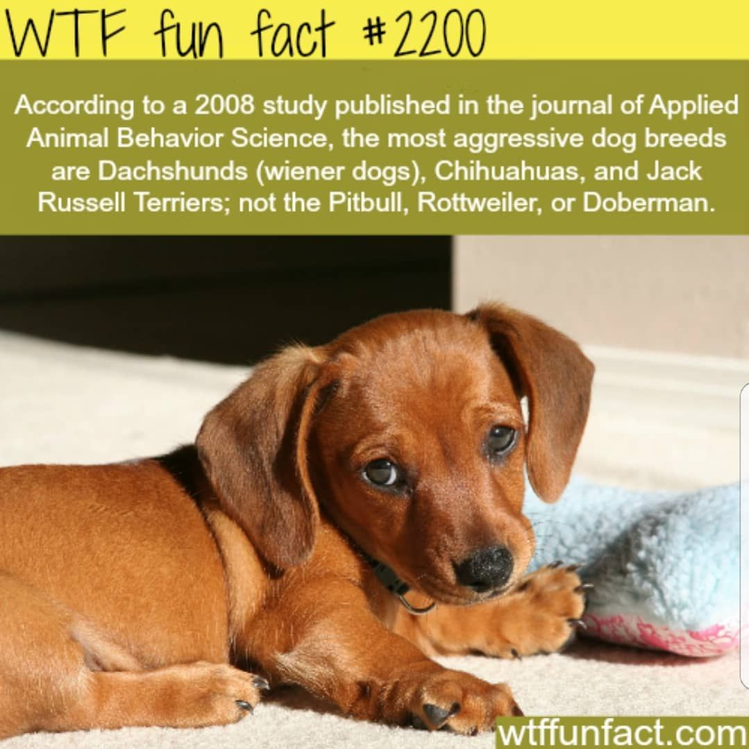Biggest aggression from the smallest dogs dog facts