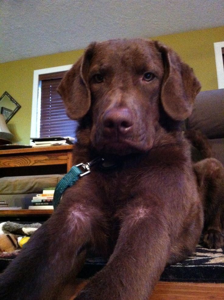 mr monster almost 10 months Labrador retriever, Your dog