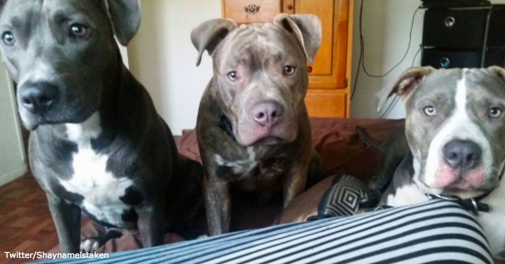 Montreal S Decision To Ban Pit Bulls Met With Worldwide Protest