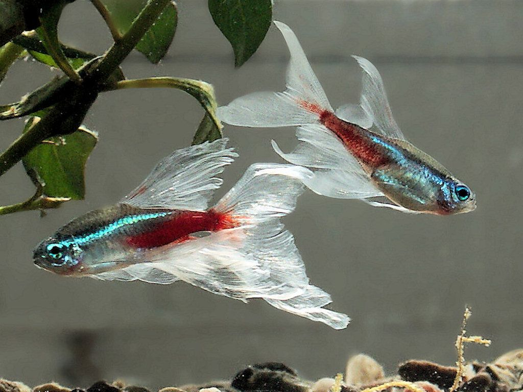Neon tetra for sale aquariumfish net - Hmmmm Am Ambivalent About This Cultivated Form Of The Neon Fish Aquariumsaquarium