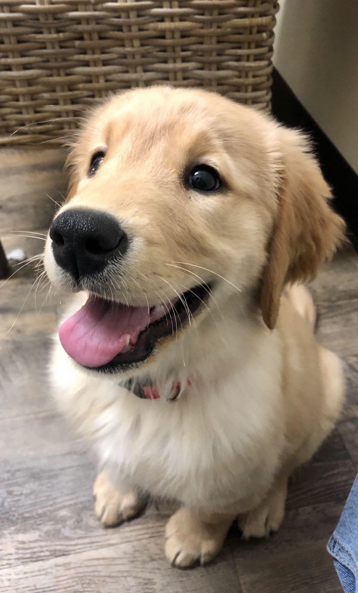 Golden Retriever puppy (With images) Golden retriever
