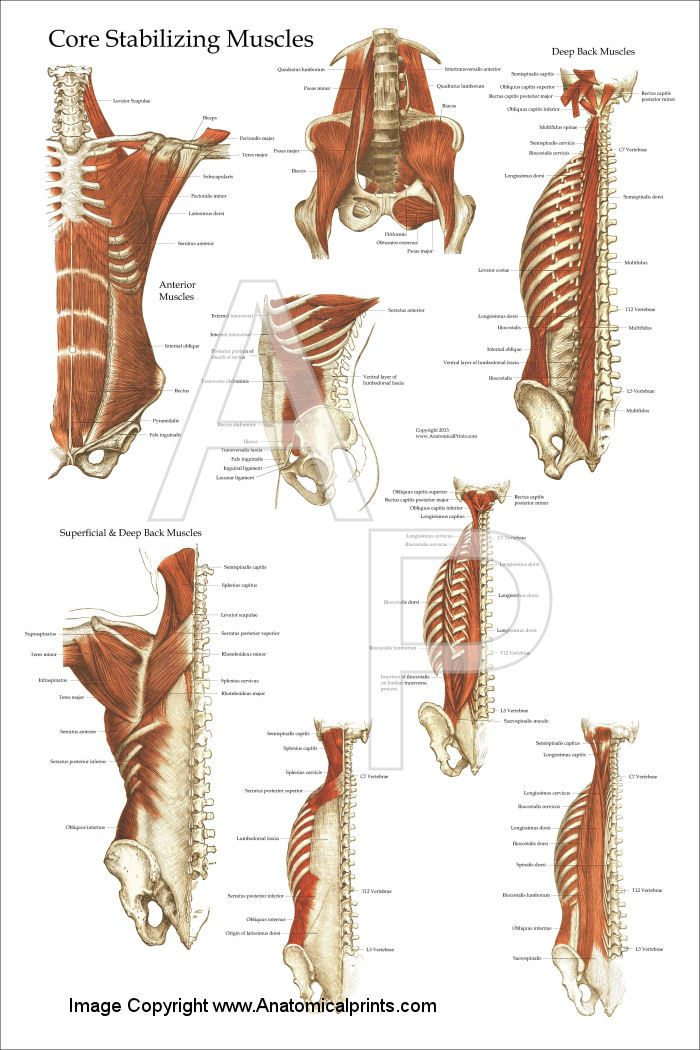 Deep and Core Stabilizing Muscles Poster 24\