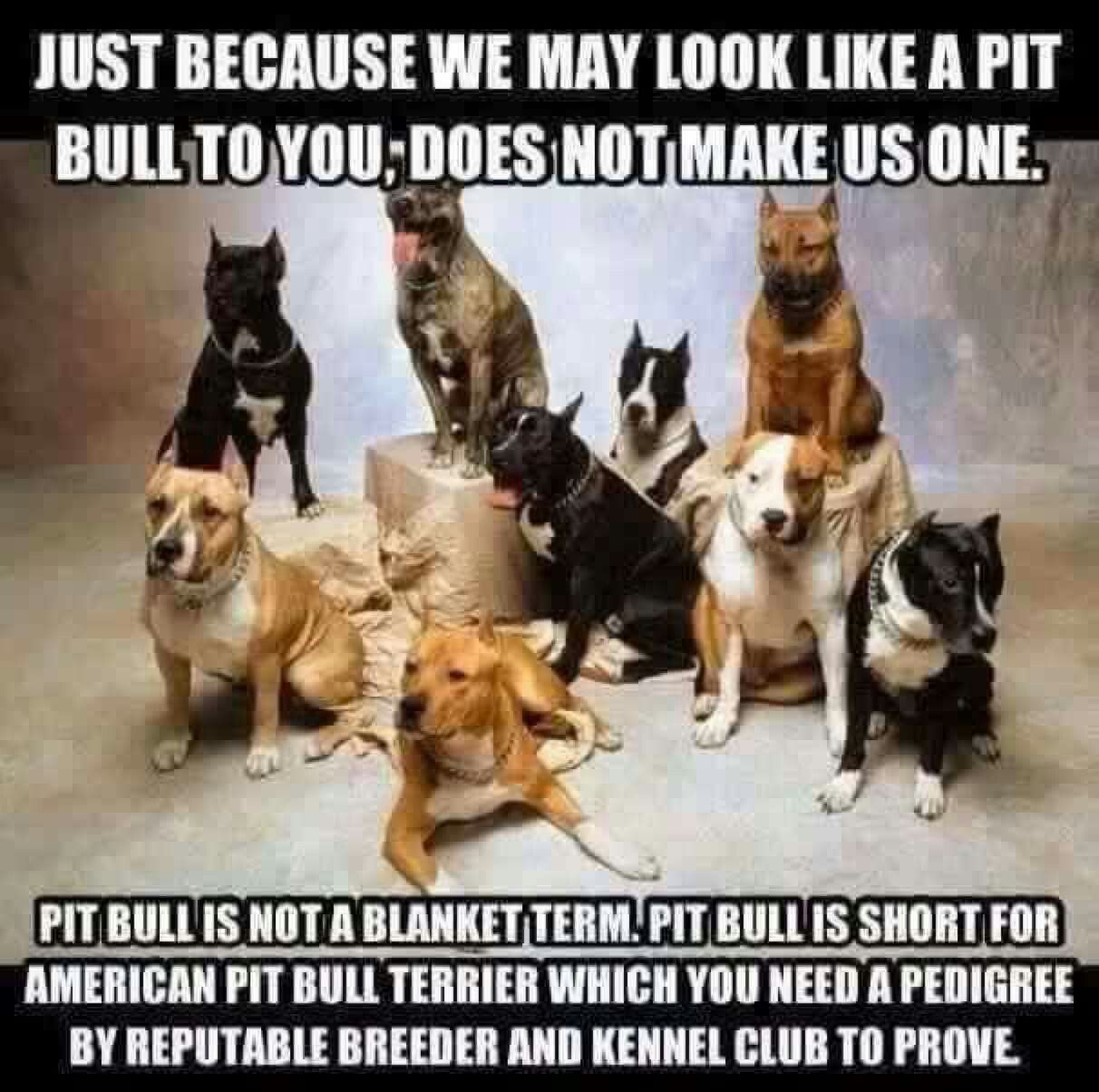 Pin by Pit Bull Life on Pit Bull Pics | Pitbull terrier, Dog memes, Dogs