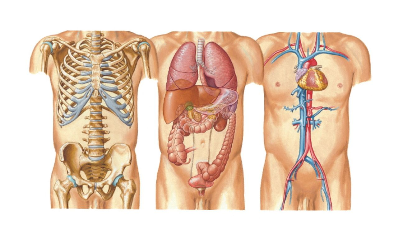 Human body organs on left side tempat untuk dikunjungi pinterest human body organs on left side ccuart Image collections