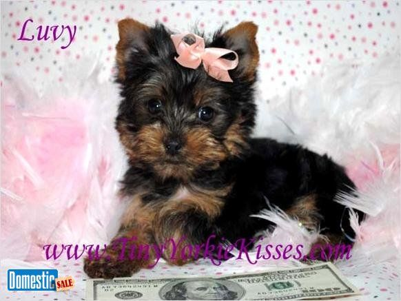 Tiny Tea Cup And Toy Size Yorkies For Sale In Ca 707 720 9042 Please