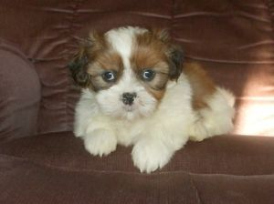 Absolutely Stunning Shih Tzu Puppies Available Oakville Halton