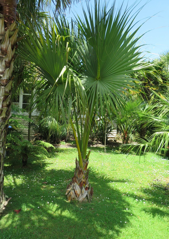 One 4 Foot Artificial Triple Phoenix Palm Tree Bush In Pot Indoor