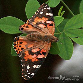 Painted Lady Butterflies photos