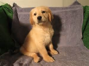 Best Quality Golden Retriever Puppies For Sale In Singapore 2020