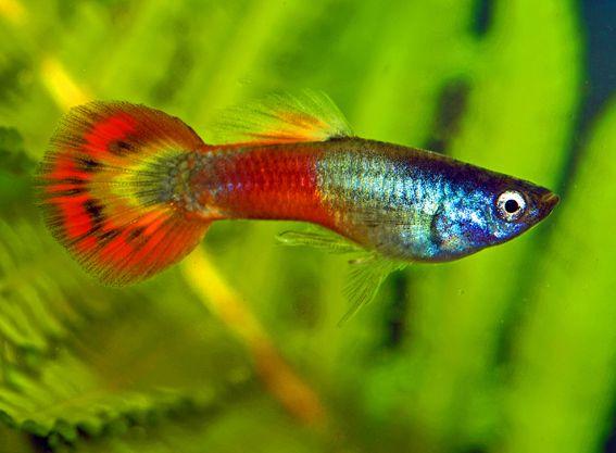 Red Blue Grass Santa Maria Magenta Japan Mikarif Neon Half Tuxedo Guppy Fish Guppy Aquarium Fish