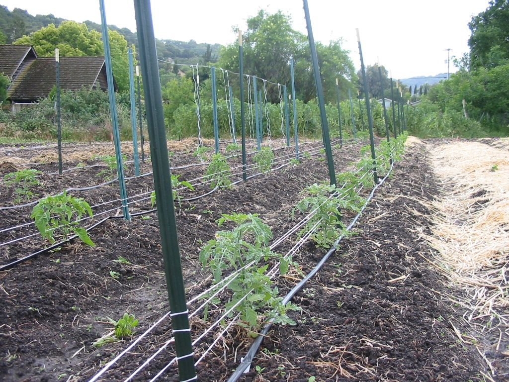 Florida weave (stake and weave) tomato trellis with t posts. Can use ...