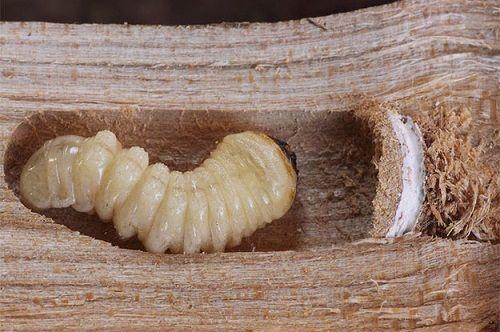 Como Acabar Con Las Termitas En La Pared Carcoma Termitas