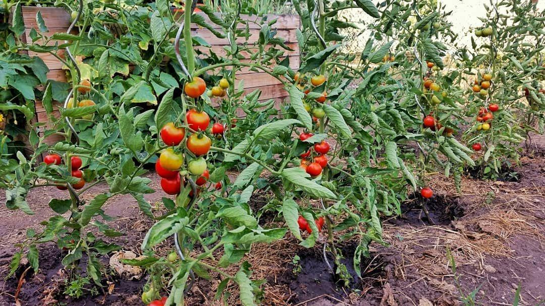 Nach Dem Feierabend Ist Die Zweite Schicht Im Garten Auch Geschafft Die Tomaten Wachsen Sehr Gut Und Haben Ein Tolles A Garten Garten Ideen Bio Gemuse