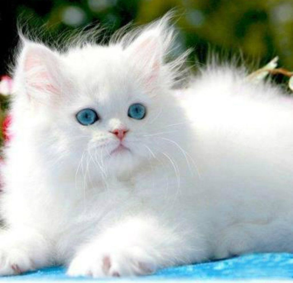 Own a cute fluffy white cat like this ITS SO FLUFFY