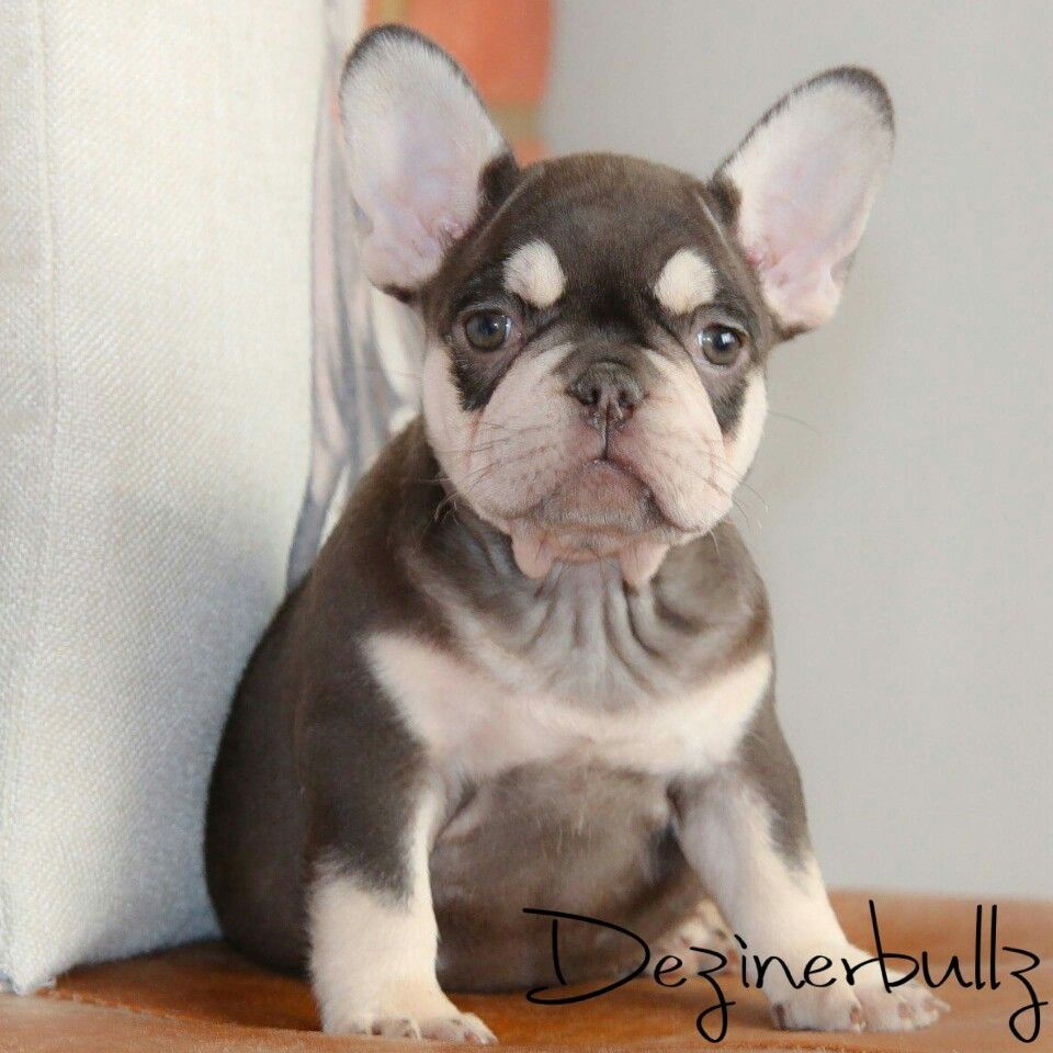 Frenchie Puppy Hunde Tiere