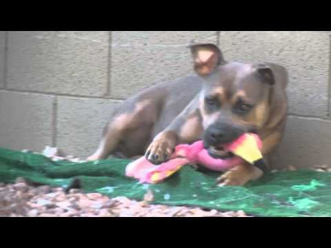 Puppy Hasbro Playing with His Flamingo, Again - YouTube