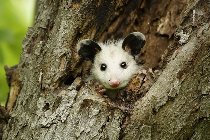 cute-possums-311__700