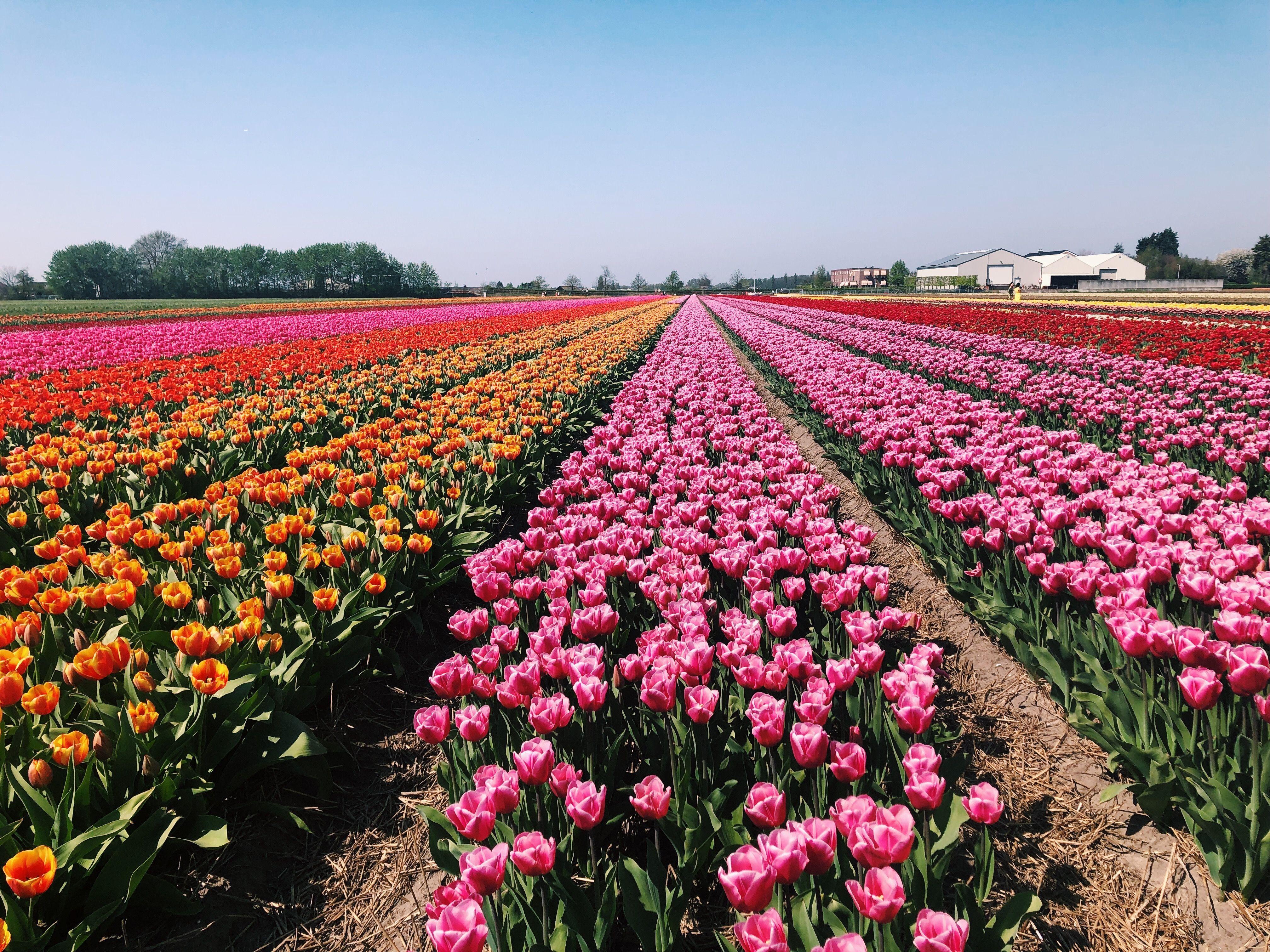 Tulip Fields Lisse Netherlands Private Tour At Fam Flower Farm Travel Wanderlust Tulipfields Flowerfields Holland Tulip Fields Flower Farm Fields