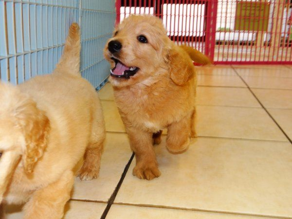 DSC00607 Non shedding dog breeds, Puppies for sale, Puppies